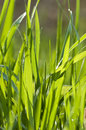 Grass with dewdrops Royalty Free Stock Photos