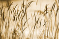Grass ear background natural abstract silhouettes of in sepia with bokeh effect Royalty Free Stock Photos