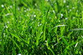 Grass early morning,grass with water drops Royalty Free Stock Photos