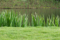 Grass is edge the pond Royalty Free Stock Photo