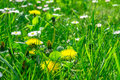 Grass field full of herbs and wild flowers Royalty Free Stock Photo