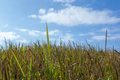 Grass field high with clear blue sky Royalty Free Stock Photography