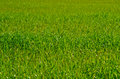 Grass field of summer uncut Royalty Free Stock Photography