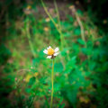 Grass flower alone Royalty Free Stock Photo