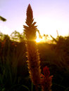 Grass flower in the evening Royalty Free Stock Photo