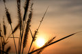 Grass flower with sunset background Stock Photo