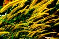 Grass flower yellow pennisetum villosa common tropical Stock Images