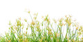 Grass flowering Stock Photos