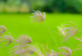 Grass flowers beautiful crowfoot on the field Stock Photo