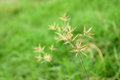 Grass flowers in paddy field for background Stock Photo