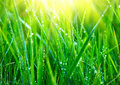 Grass. Fresh green grass with dew drops closeup Royalty Free Stock Photo