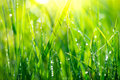 Grass. Fresh green spring grass with dew drops Royalty Free Stock Photo