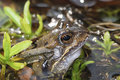 Grass frog Royalty Free Stock Images