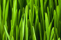 Grass germinated wheat holiday of arrival of spring novruz Royalty Free Stock Photos