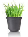 Grass green in pot on white Royalty Free Stock Images