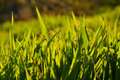 Grass green in sunset sunlight Royalty Free Stock Image