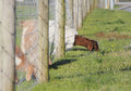 The grass is greener part one an adult goat finds on other side of fence Royalty Free Stock Images