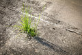 Grass growing  in concrete Royalty Free Stock Photo