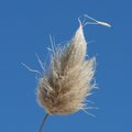 Grass head in sand dunes a of seed against the blue sky golden bay beach western australia Stock Photo