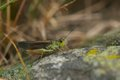 Grass Hopper Close Up Macro Royalty Free Stock Photo