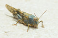 Grass hopper a looking at camera on a stone surface Royalty Free Stock Photography