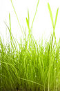 Grass isolated on white Royalty Free Stock Photos