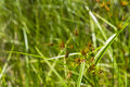 Grass like sedge though it looks this green leafed plant with a spiked or starburst brown flowerhead is actually a Stock Photo