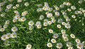 Grass meadow bird eye view plenty of daisy flowers quite close up Stock Image