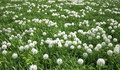 Grass meadow bird eye view plenty of dandelion flowers green Royalty Free Stock Images