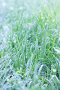 Grass in the morning dew juicy fresh Stock Photo