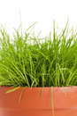 Grass plant Royalty Free Stock Photo