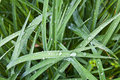 Royalty Free Stock Photography Grass after rain