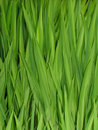 Grass Reeds Stock Photo