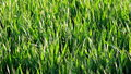 Grass shaking blades on wind Stock Photo