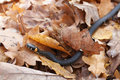Grass snake in the autumn leaves Royalty Free Stock Photos