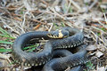 Grass snake close up in nature Royalty Free Stock Images
