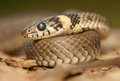 Grass snake common the world seen from up close Royalty Free Stock Image