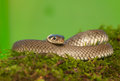 Grass snake common the world seen from up close Stock Images