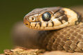 Grass snake common the world seen from up close Stock Photos