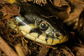Grass snake head of a natrix natrix Royalty Free Stock Photo