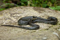 Grass snake Royalty Free Stock Photo
