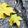 Grass snake lying on stone Royalty Free Stock Image
