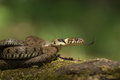Grass snake a male flicking its tongue to taste the air Stock Photography
