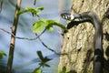 Grass snake natrix natrix climbing a tree in spring Stock Photography
