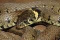 Grass Snake - Natrix natrix Royalty Free Stock Photo