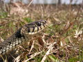 Grass snake portrait of natrix natrix Stock Images