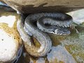 Grass snake under the stone hiding in river Stock Photo