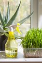 Grass and sprayer indoors botanical hobbies vertical shot in container yellow on the windowsill closeup Royalty Free Stock Images