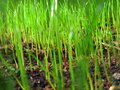 Grass sprouting macro blurred of blades of out of the soil on a sunny day by a soft breeze Royalty Free Stock Photos