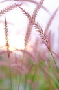 Grass sway pink in the evening Stock Images
